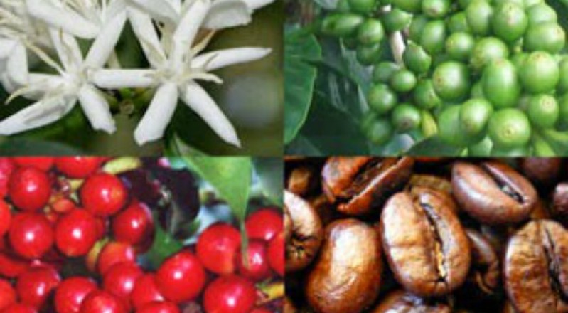 Coffee Remains Steady As Growers Await Crop