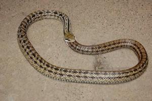Snakes in Pennsylvania Casino a Hoax