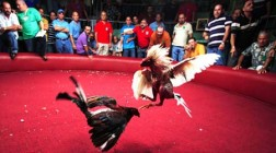 Largest Cockfighting Ring in Floyd County Charged