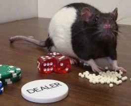 Scientists Treat Rats with Gambling Addictions